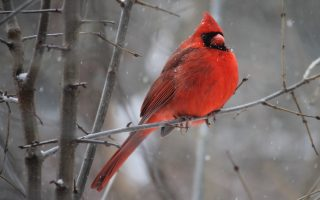 Red Cardinal Biblical Meaning: What does Red cardinal Mean in the Bible?