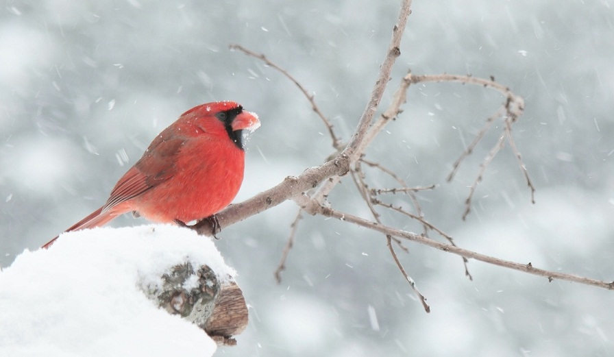 red cardinal biblical meaning